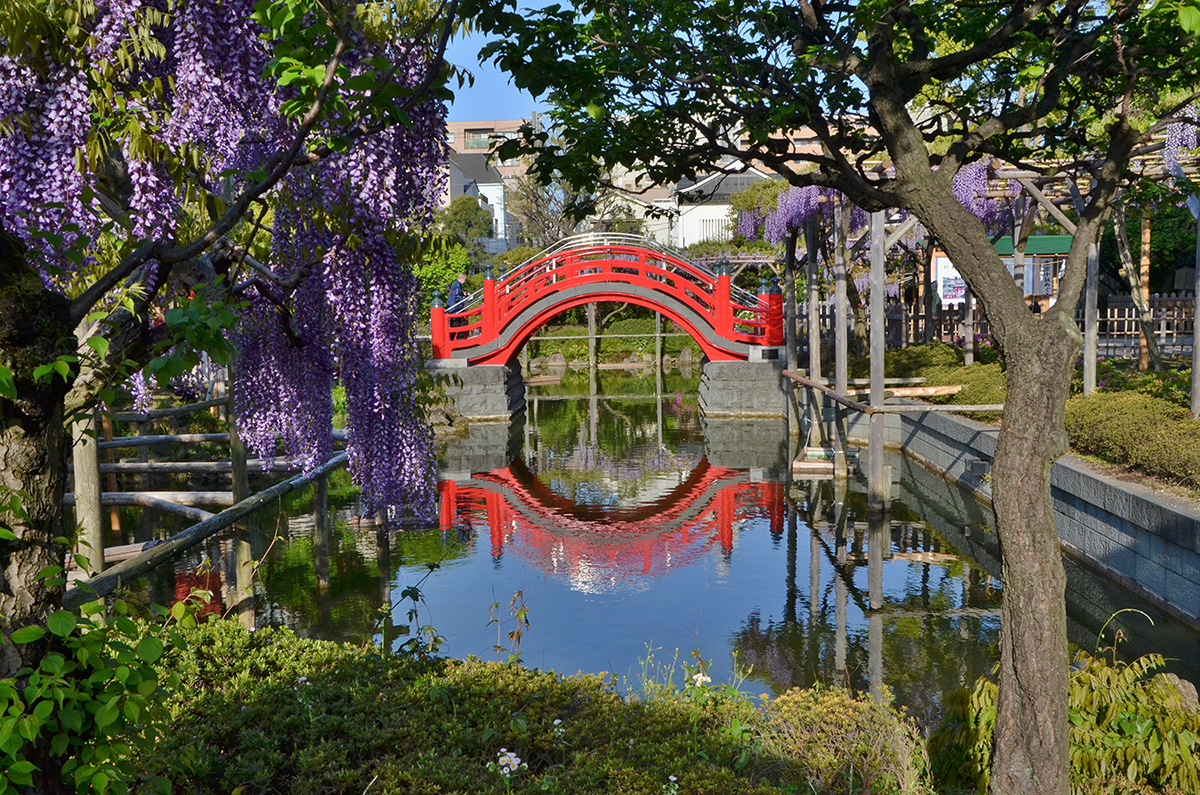 Kameido Tenjin wisteria and arched bridge
