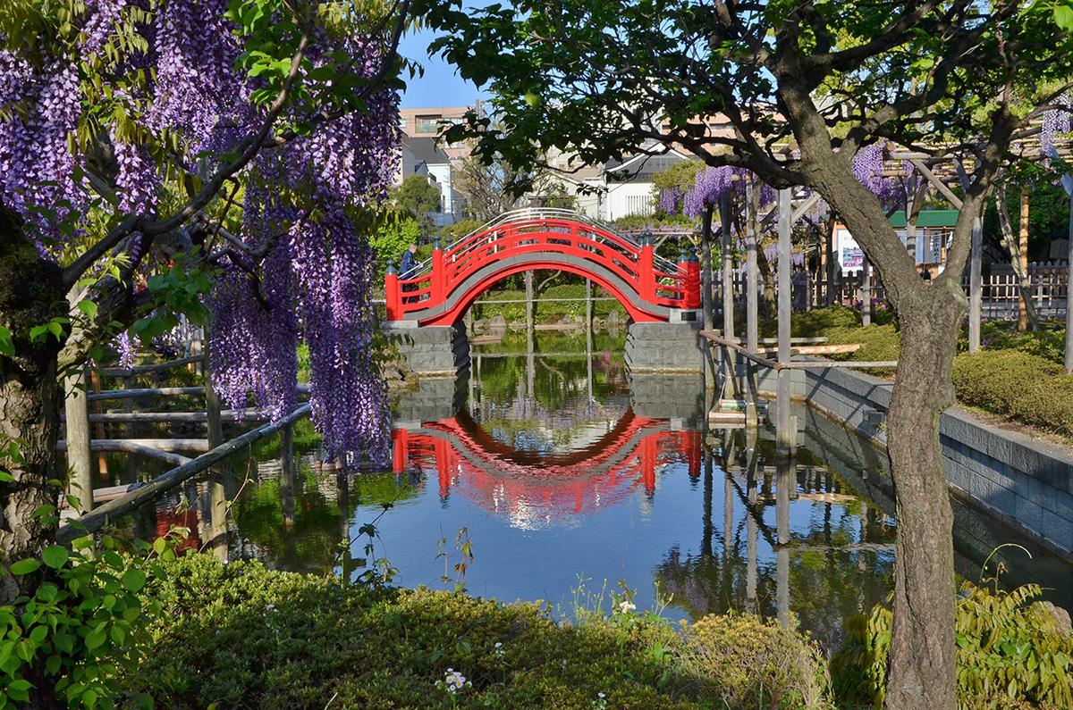 龟户天神紫藤和半月形拱桥