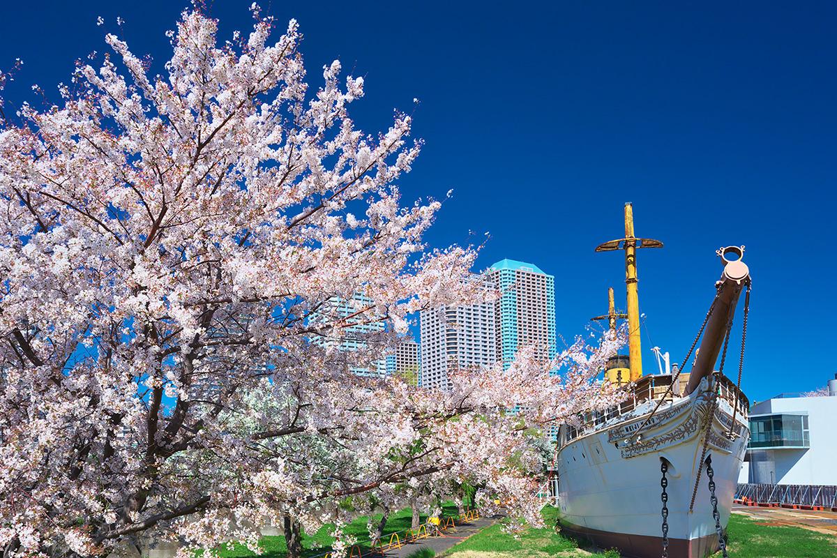 明治號和櫻花