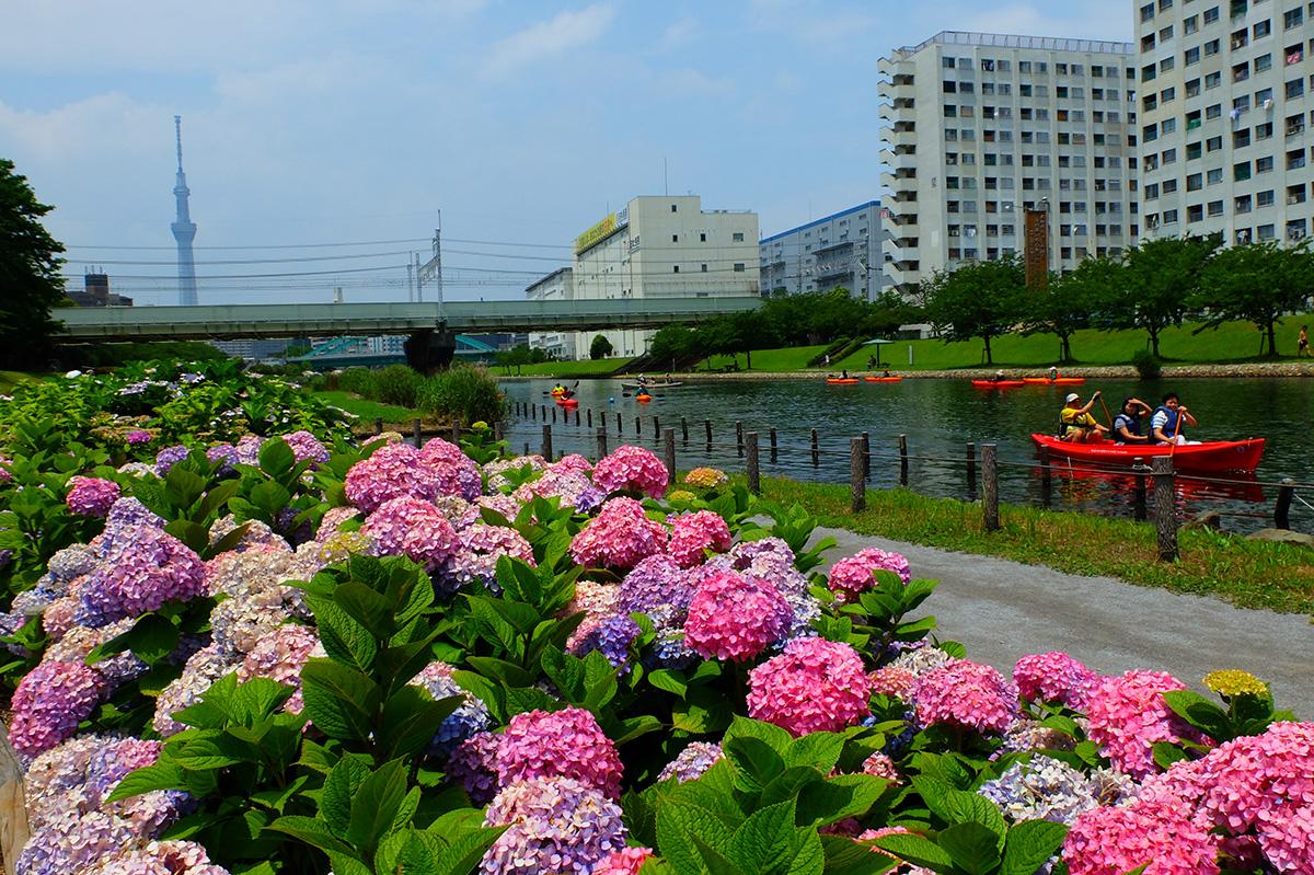 享受紫阳花!