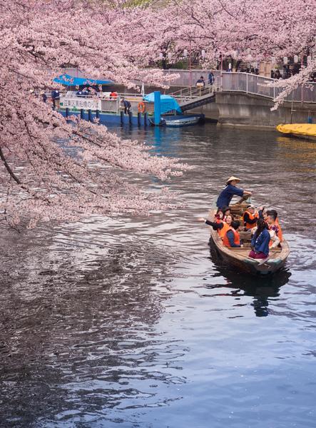 후카가와 벚꽃