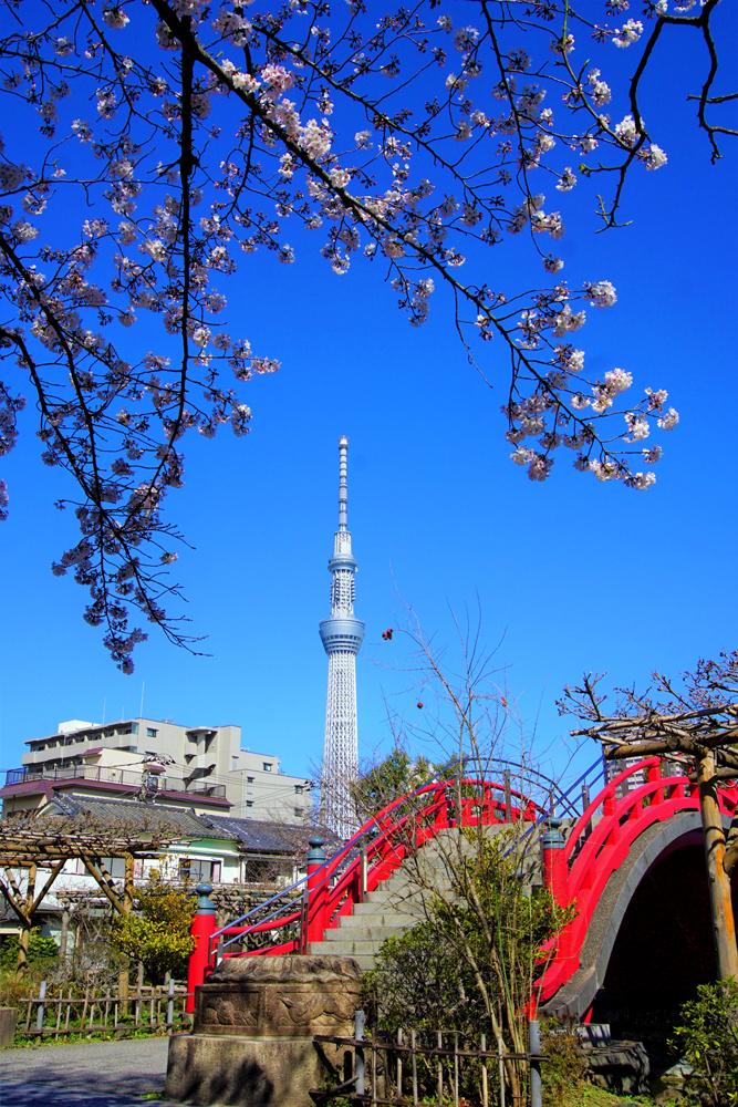Kameido Tenjinsha Shrine cherry blossoms