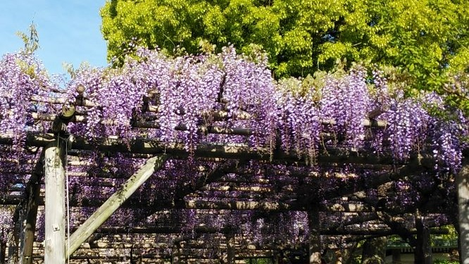 [cancellation] Kameido Tenjin wisteria Festival