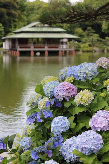 기요스미 정원 수국