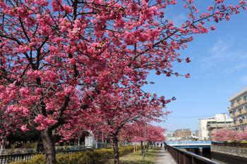 The Oyoko River promenade Kawazu-zakura