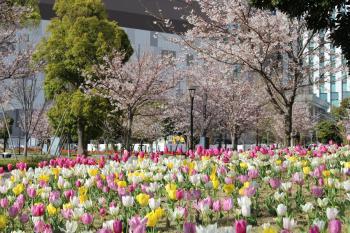 樱花和郁金香(象徴走廊公园)