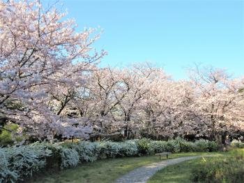 Cherry blossoms (Midori Mori way park of Tatsumi)