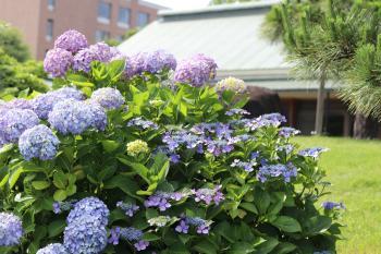 清澄庭園紫陽花
