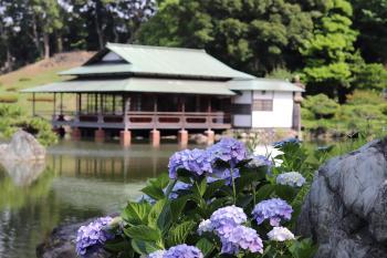 清澄庭园紫阳花