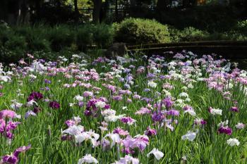 기요스미 정원 꽃창포
